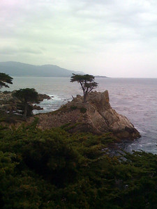 The oldest Monterey pine in Carmel