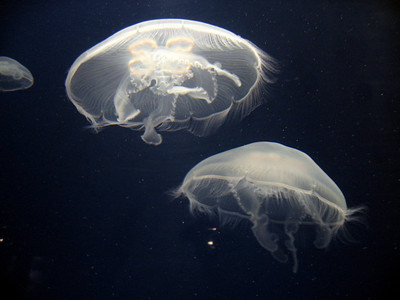 Jellyfish at MBA.