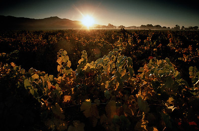 Vineyards at sunset, Napa Valley, California, USA