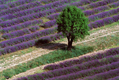 Amid the Lavender Fields