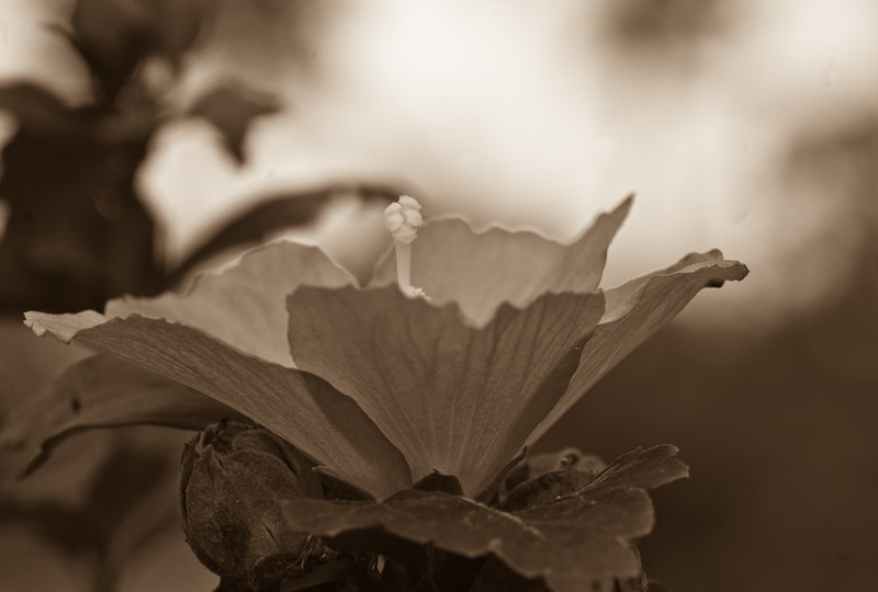 gray bloom direct sepia-56