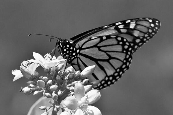 monarch-23