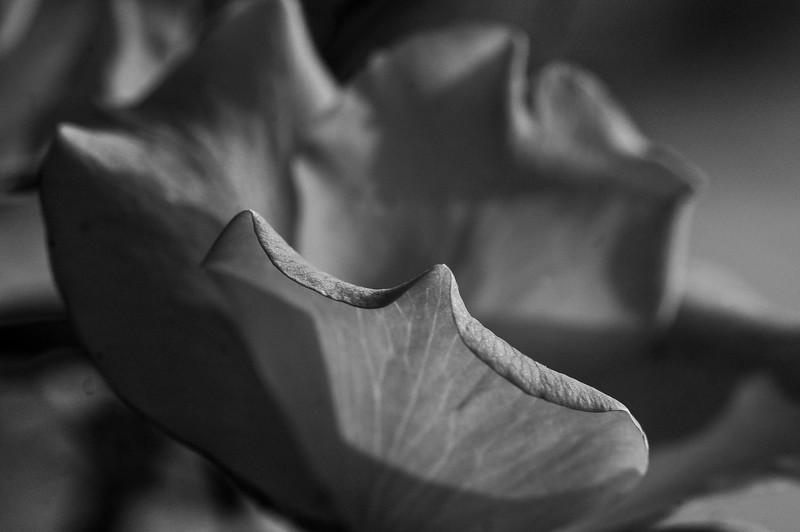 gray rose-25
