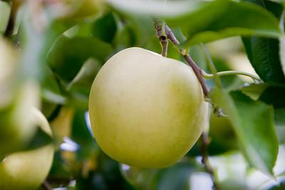 Apples_032