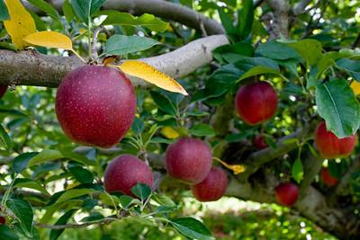 Apples_036