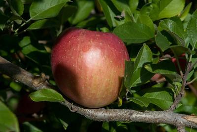 Apples_019