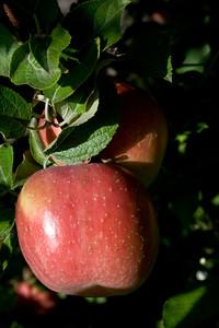 Apples_023