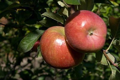 Apples_020