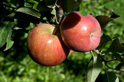 Apples_022