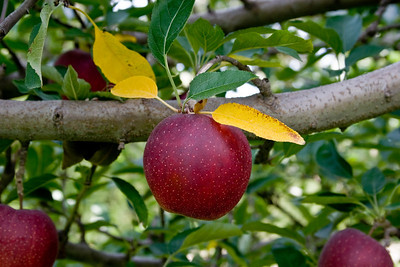 Apples_035