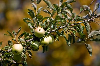 Apples_009