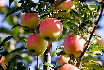 Apples_027