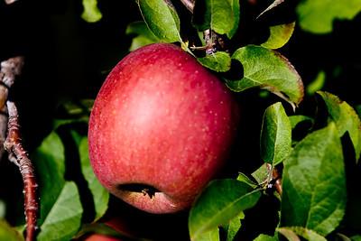 Apples_026