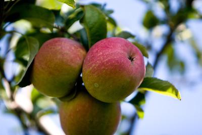 Apples_018