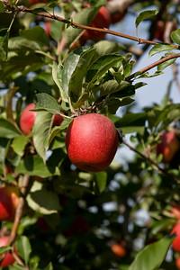 Apples_013