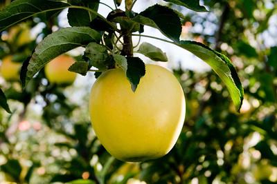 Apples_028