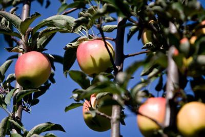 Apples_016