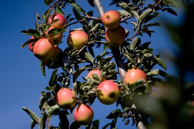 Apples_017