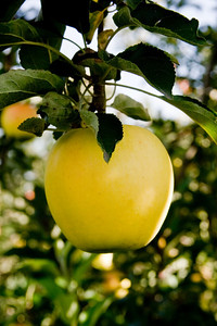 Apples_029