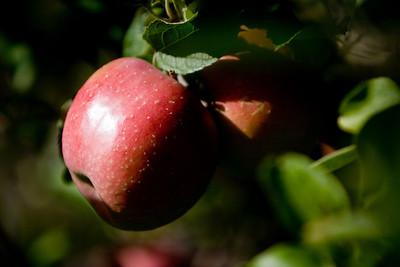 Apples_024