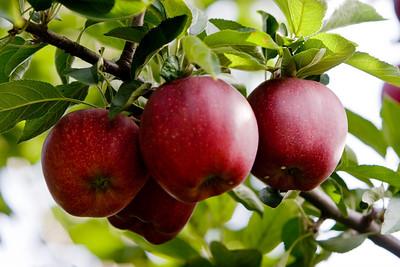 Apples_037
