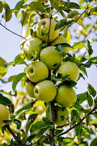 Apples_010