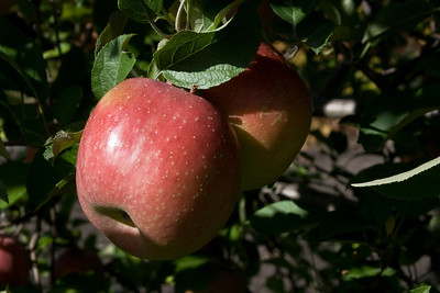 Apples_025