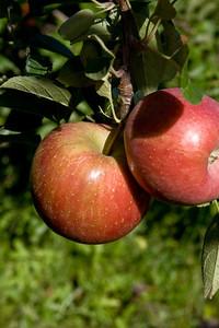 Apples_021