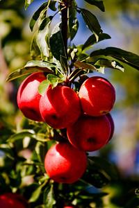 Apples_014