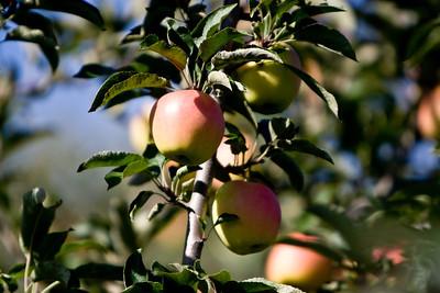 Apples_015