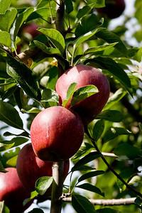 Apples_033
