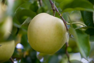 Apples_031