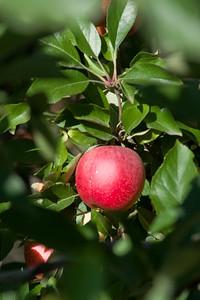 Apples_012