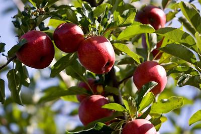 Apples_030