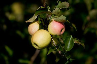 Apples_034
