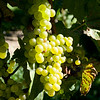 Old Mission Grapes 040