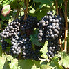 Old Mission Grapes 008