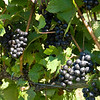 Old Mission Grapes 004