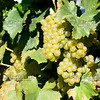 Old Mission Grapes 042