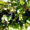 Old Mission Grapes 001