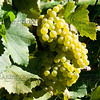 Old Mission Grapes 039
