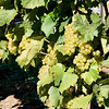 Old Mission Grapes 044