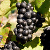 Old Mission Grapes 023