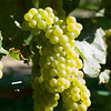 Old Mission Grapes 047