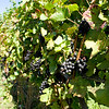 Old Mission Grapes 003