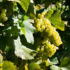 Old Mission Grapes 038