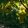 Old Mission Grapes 045