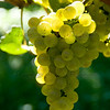 Old Mission Grapes 046