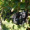 Old Mission Grapes 009