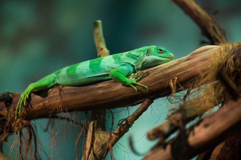 Fiji Island Banded Iguana<br /> Brachylophus fasciatus